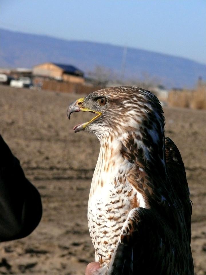 508 Ferruginous hawk