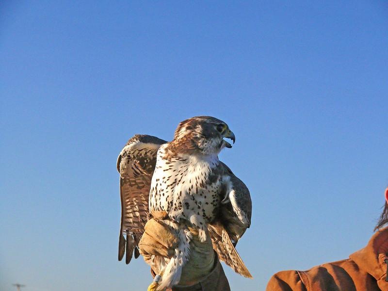 432-2 Prairie Falcon