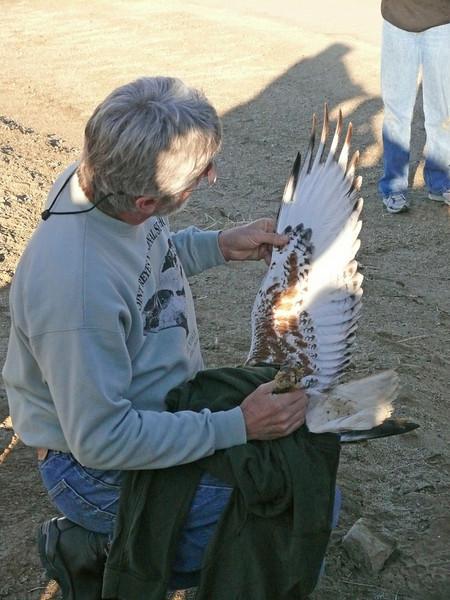 497 Ferruginous hawk