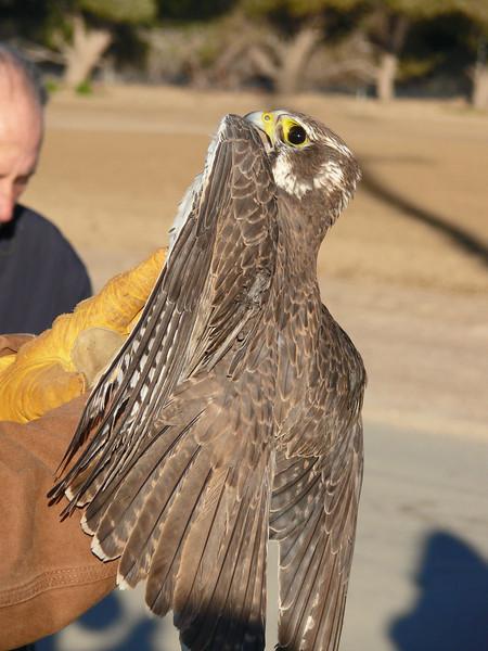 445 Prairie Falcon