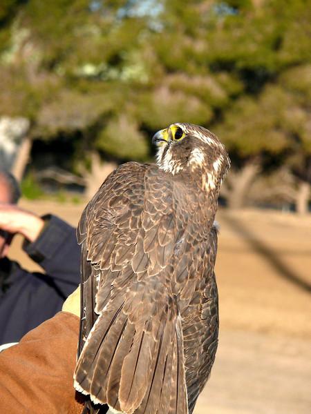 438 Prairie Falcon
