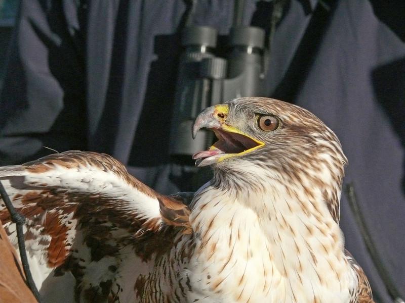 502 Ferruginous hawk