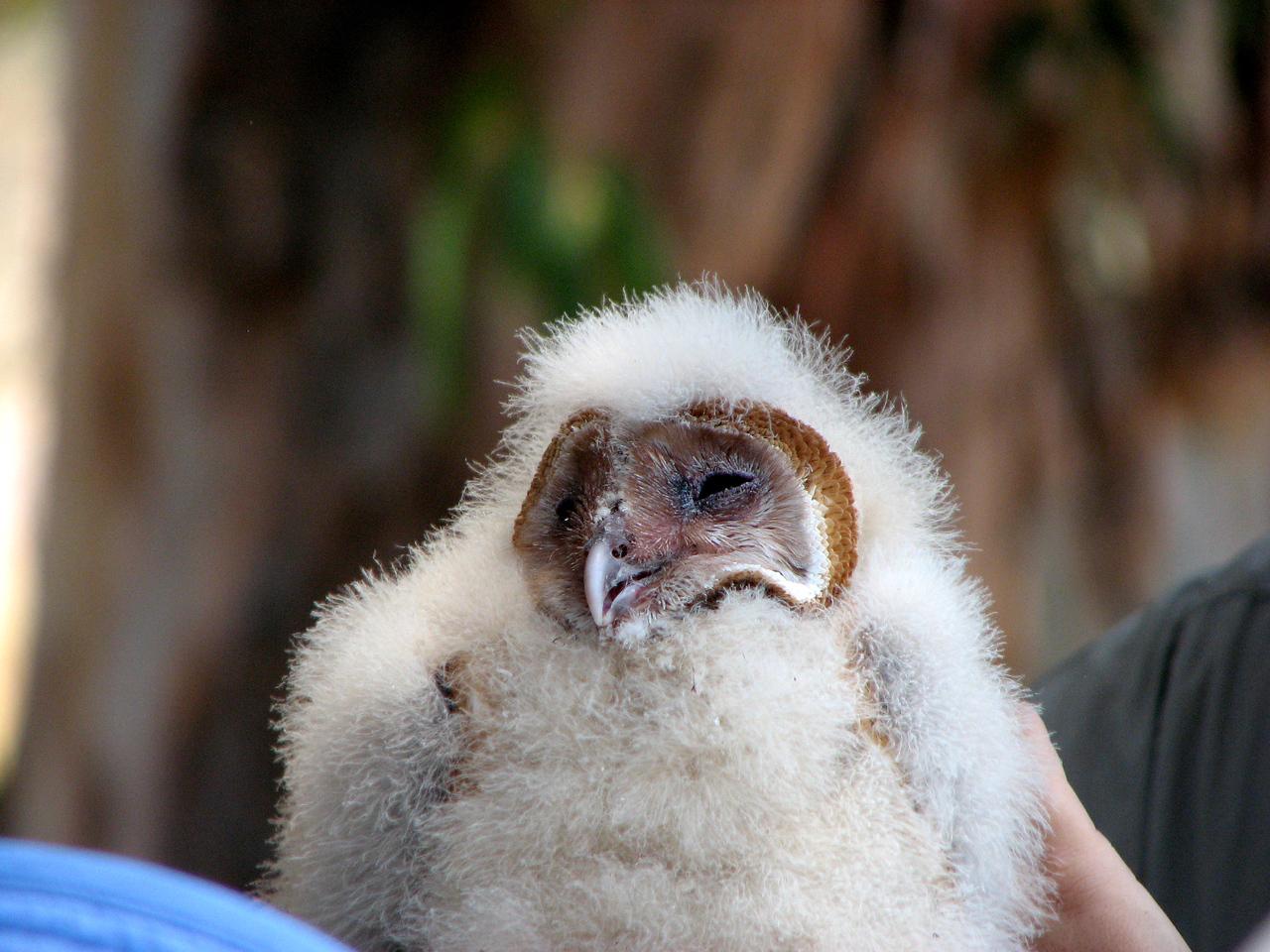 865 Barn Owl