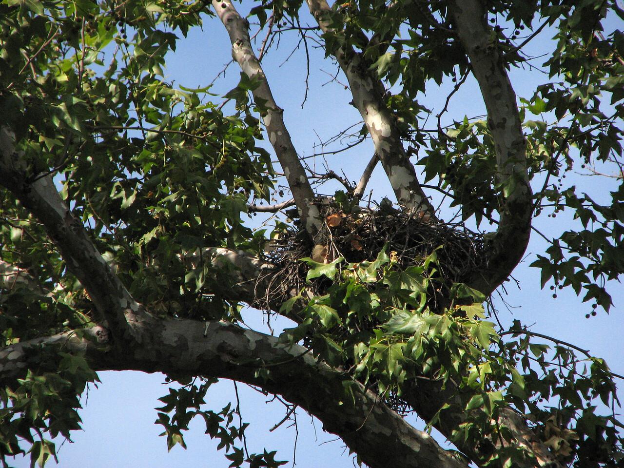 695 Red-shouldered Hawk nest