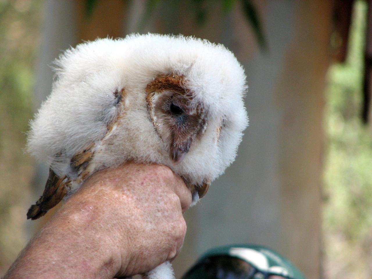 841 Barn Owl