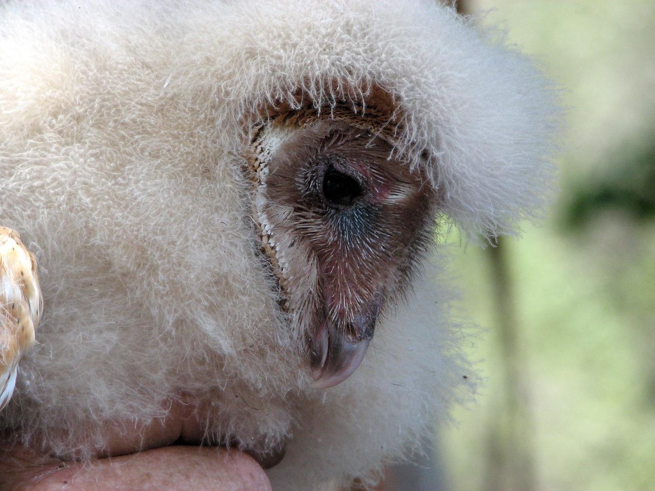 874 Barn Owl