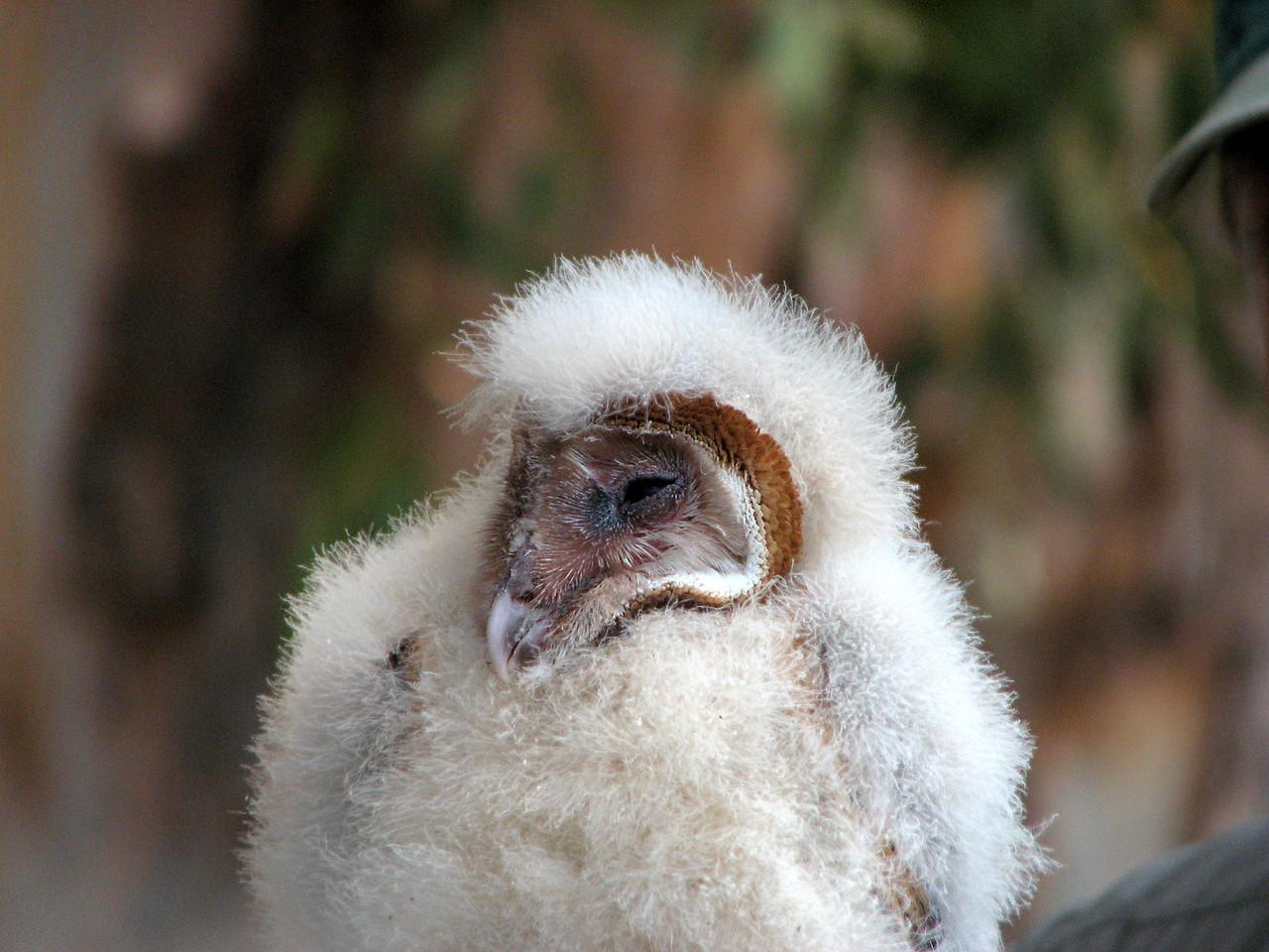 868 Barn Owl