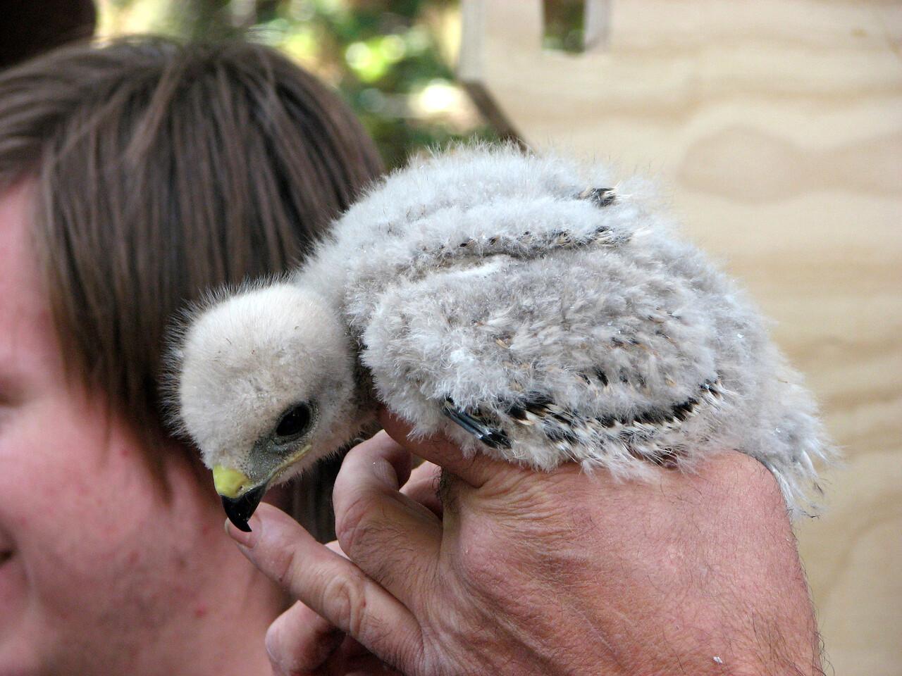 799 Red-shouldered Hawk