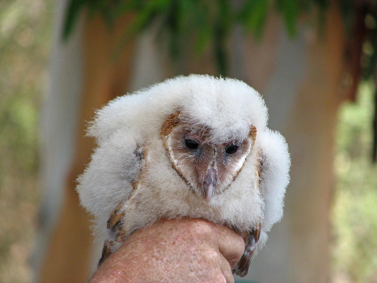844 Barn Owl