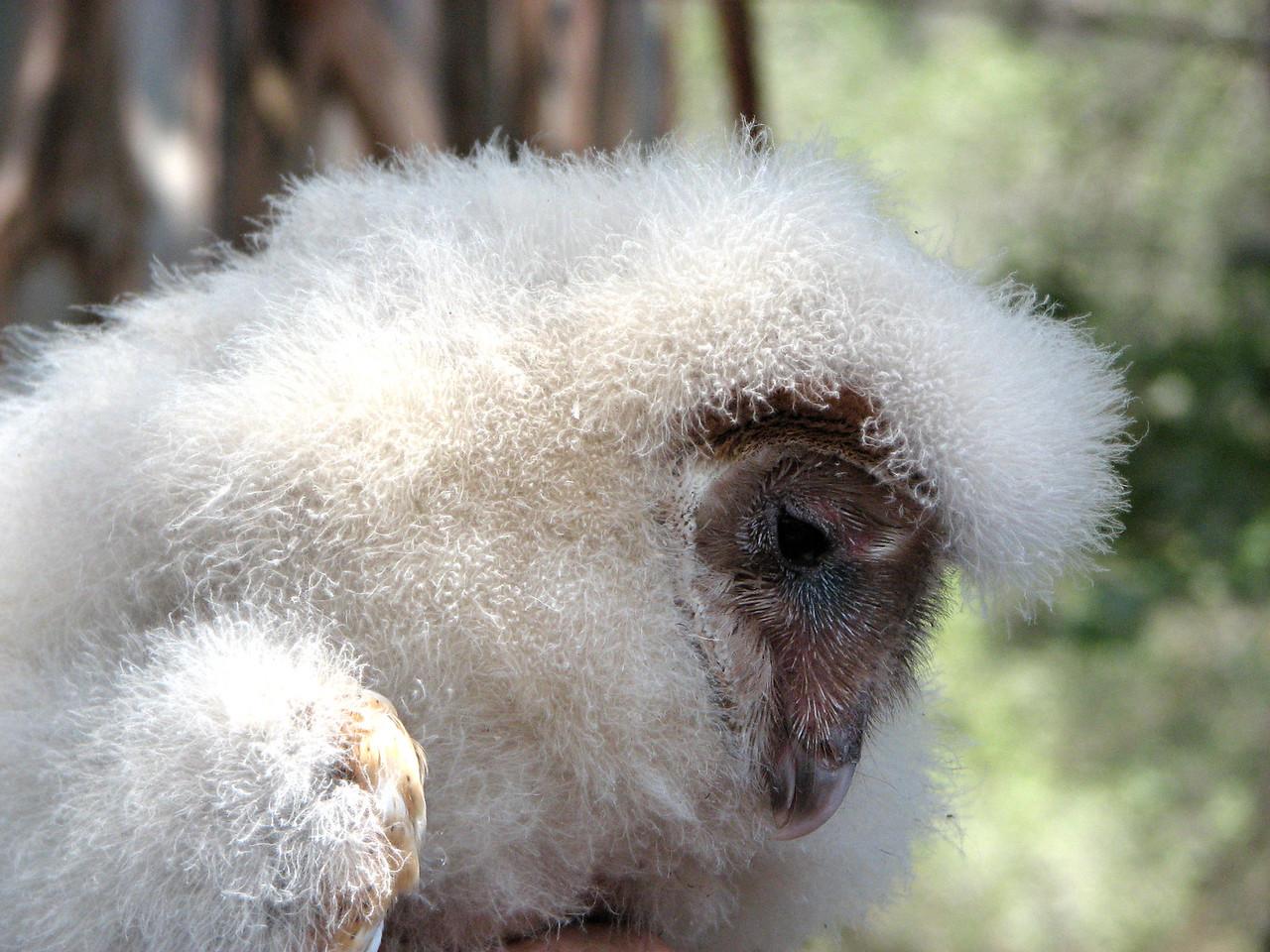 877 Barn Owl