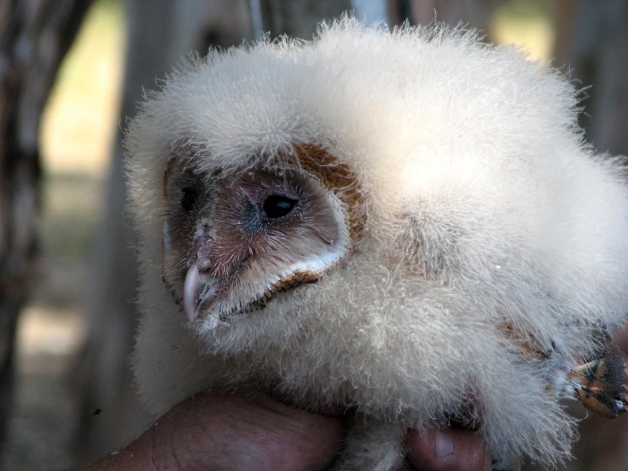 871 Barn Owl