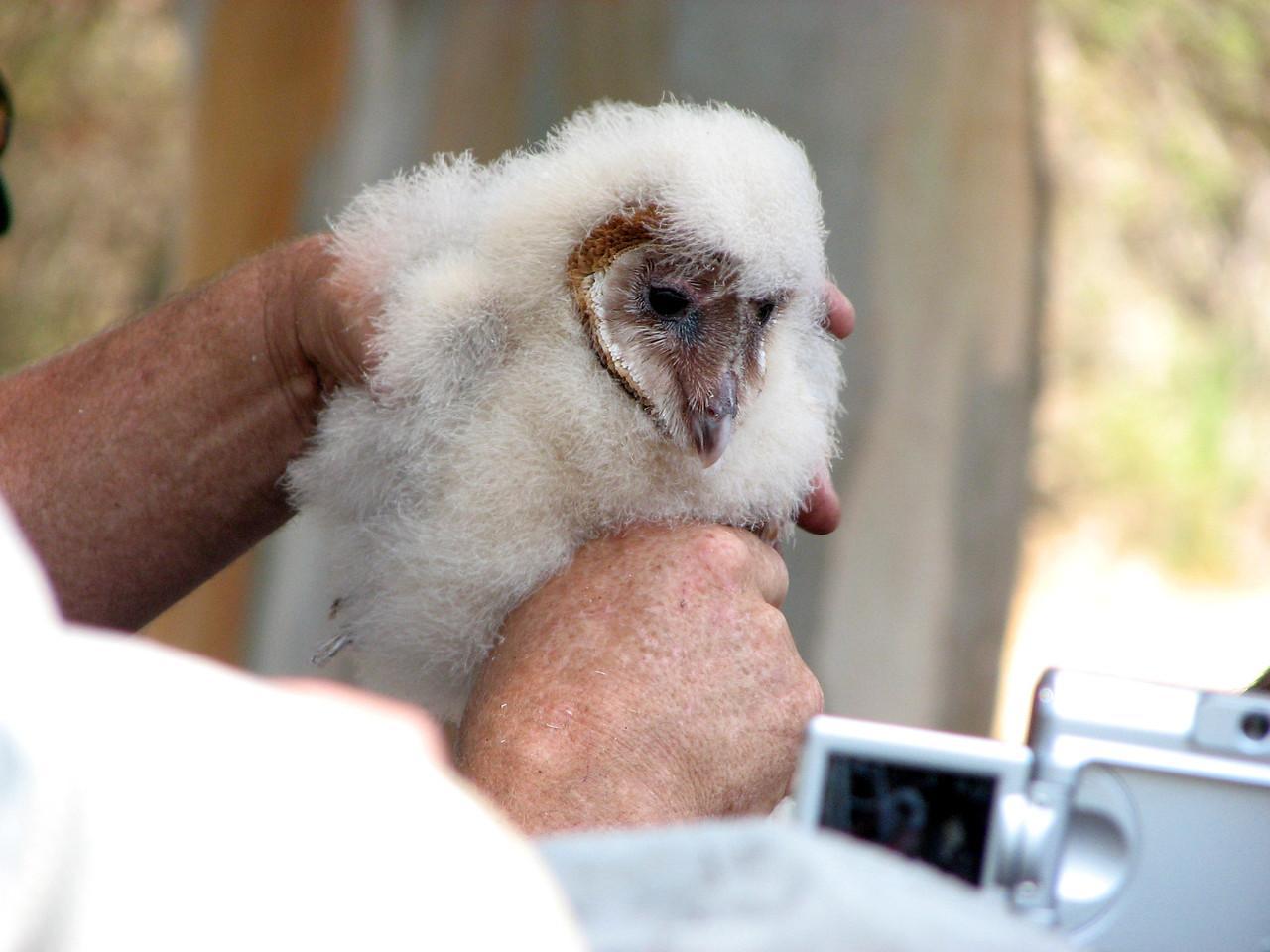 849 Barn Owl