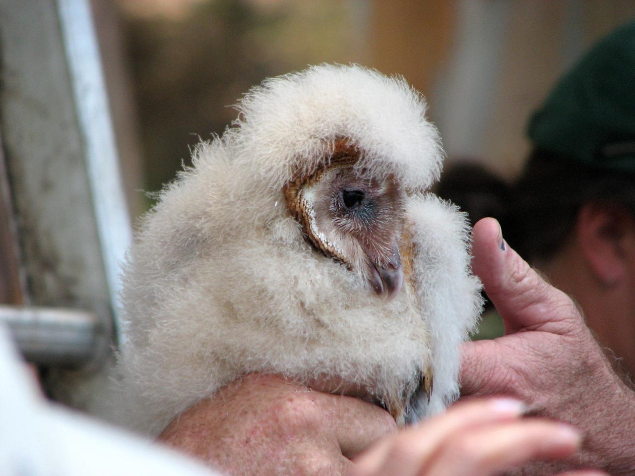 850 Barn Owl