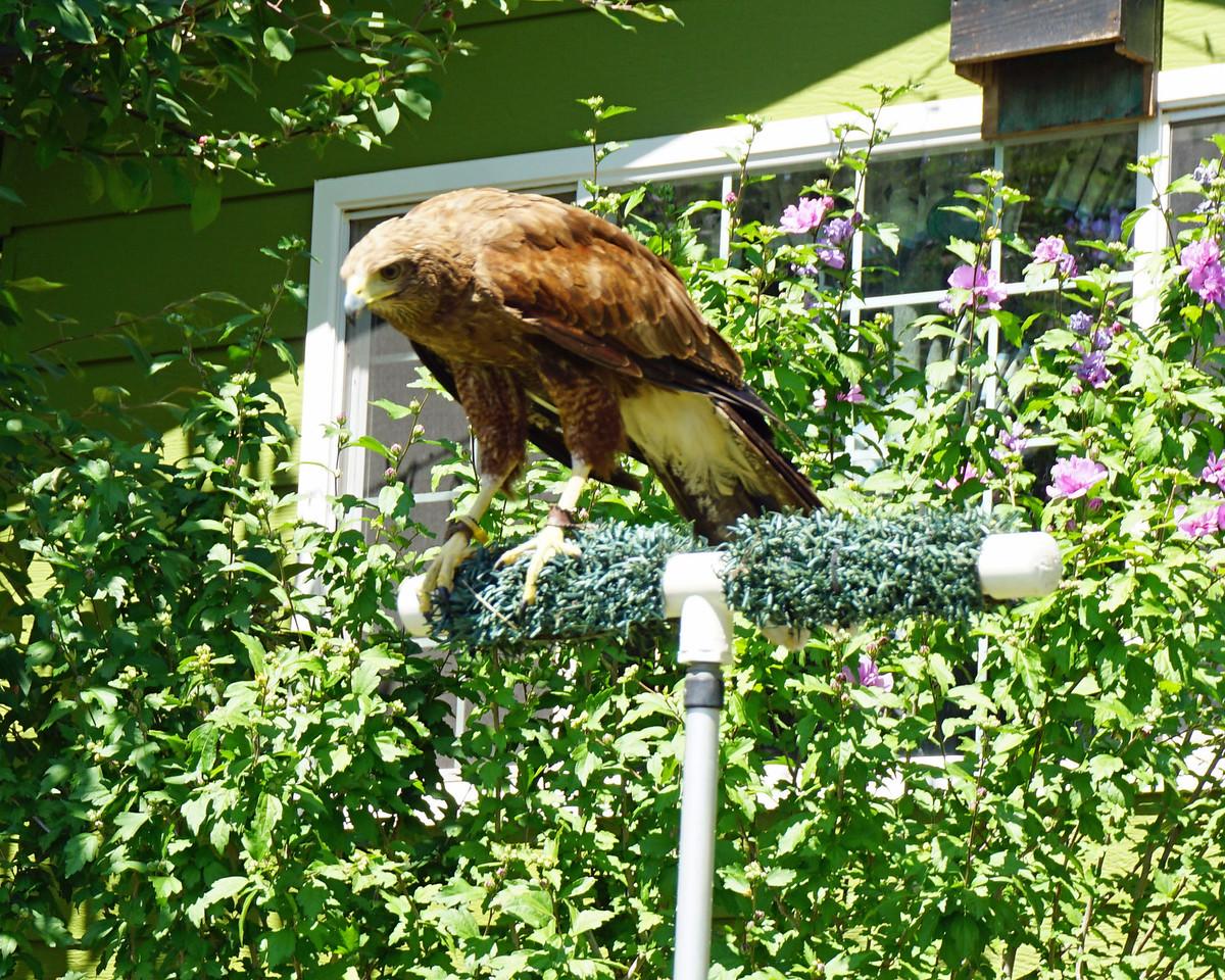 638 TikaHarris Hawk