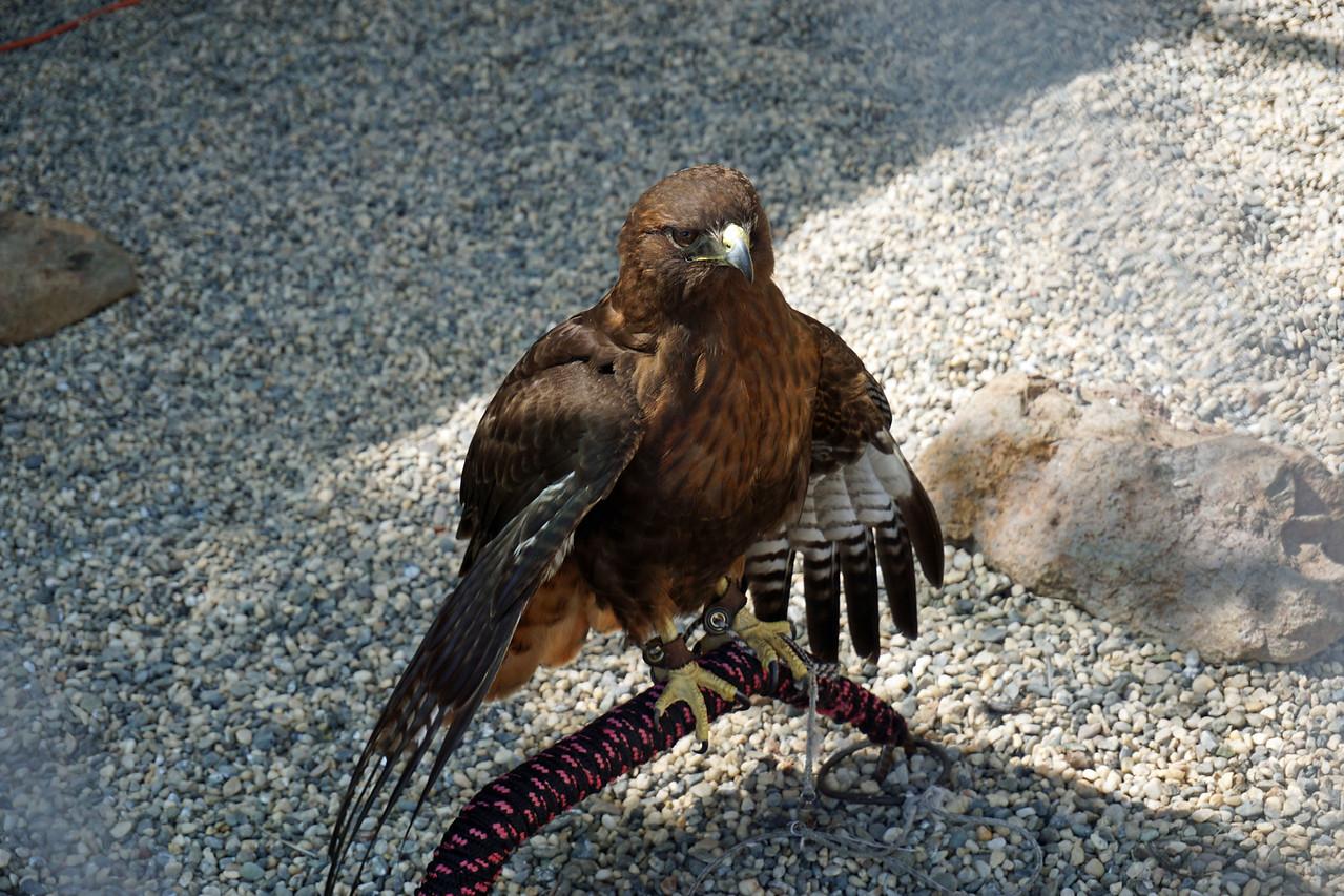 629 Red-tailed hawk dark morph