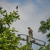 2011-04-24_IMG_1224_red-tailed hawk