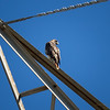 Red-tailed Hawk_2017-11-17-178680