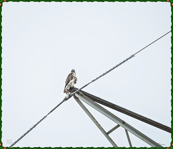 _C170188_Red-tailed hawk