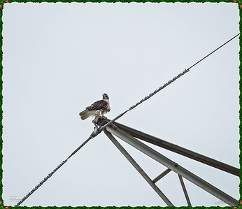 _C170104_Red-tailed hawk