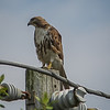 2011-04-24_IMG_1212_red-tailed hawk
