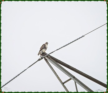 _C170130_Red-tailed hawk