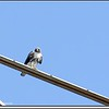 2013-02-19...Red-tailed Hawk...©PhotosRUs2008