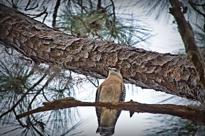 rx10_004_Red-shoulder Hawk