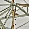 Red-tailed Hawk,Clwtr,Fl-- 2018-08-28-8280016