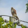 2011-04-24_IMG_1211_red-tailed hawk