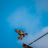 Red-tailed Hawk   2018-01-22-1340986