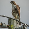 2011-04-24_IMG_1236_red-tailed hawk