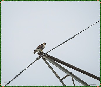 _C170110_Red-tailed hawk