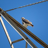 Red-tailed Hawk_2017-11-17-178707