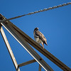 Red-tailed Hawk_2017-11-17-178696