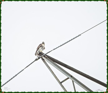 _C170137_Red-tailed hawk