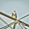 Red-tailed Hawk,Clwtr Fl-- 2018-08-14--8140006