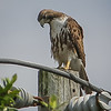 2011-04-24_IMG_1216_red-tailed hawk