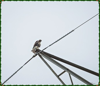 _C170101_Red-tailed hawk