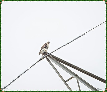 _C170117_Red-tailed hawk