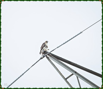 _C170185_Red-tailed hawk
