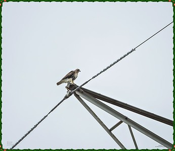 _C170099_Red-tailed hawk