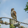 2011-04-24_IMG_1204_red-tailed hawk