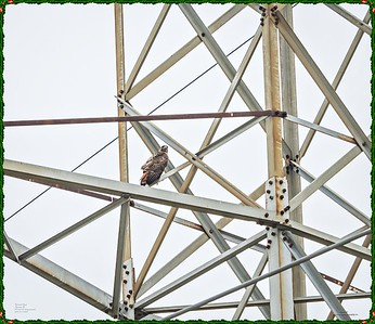 _C170095_Red-tailed hawk
