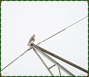 _C170126_Red-tailed hawk