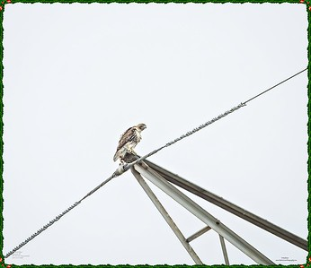 _C170123_Red-tailed hawk