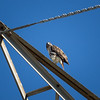 Red-tailed Hawk_2017-11-17-178695
