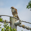 2011-04-24_IMG_1209_red-tailed hawk
