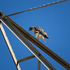 Red-tailed Hawk_2017-11-17-178693