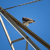 Red-tailed Hawk_2017-11-17-178704