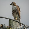 2011-04-24_IMG_1222_red-tailed hawk